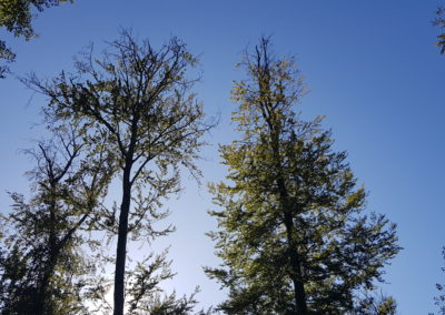 Dépérissements sur hêtres dans le Burgerwald : défoliation par les cimes et apparition de branches mortes