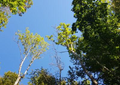 frênes nouvellement atteints par ce même champignon, perte du feuillage et apparition de branches mortes