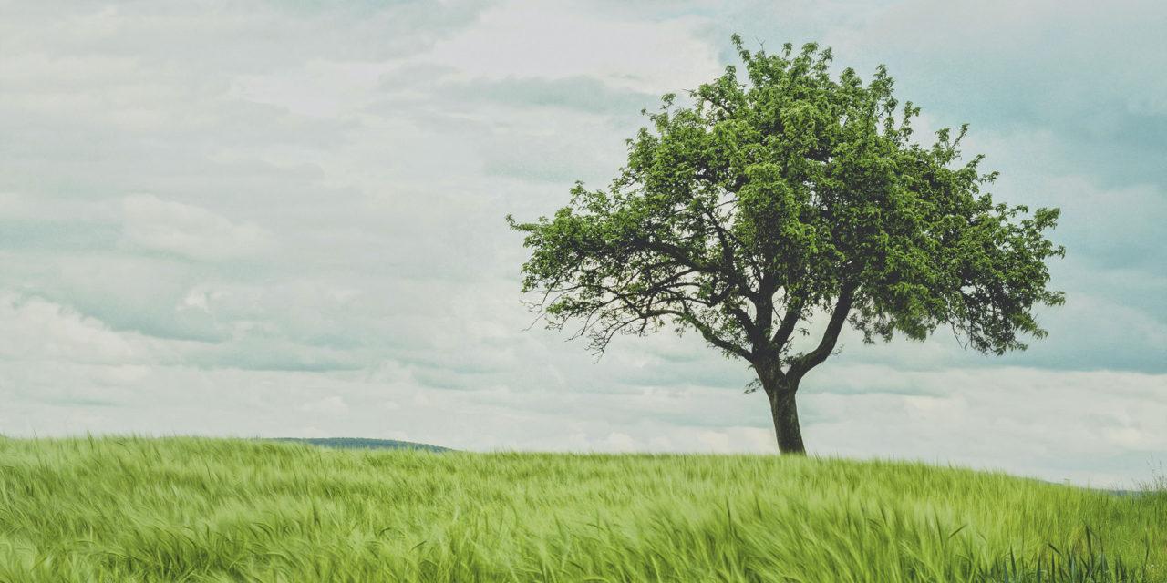 Jeu concours : Que sont devenus les arbres de la Sainte-Catherine ?